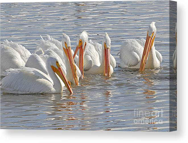 Bird Canvas Print featuring the photograph Pelicans On The Prowl by Dennis Hammer