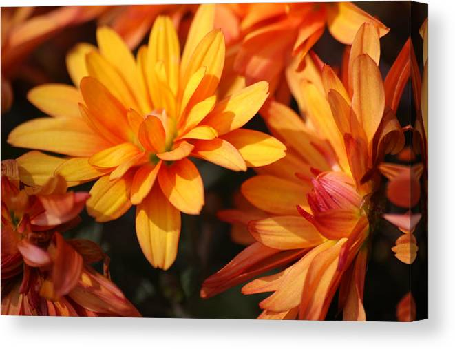 Flowers Canvas Print featuring the photograph Petals Of Autumn 2 by Jim Darnall