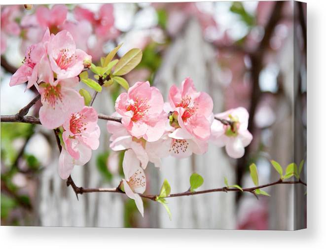 Flowers Canvas Print featuring the photograph Pink Flowers And A White Picket Fence by Toni Hopper