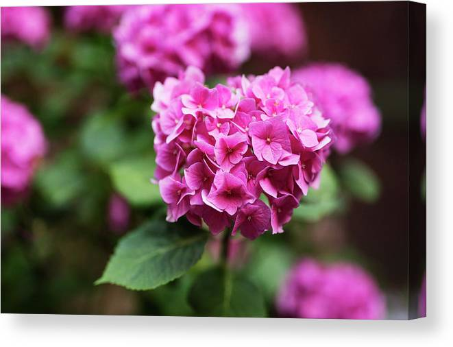 Flower Canvas Print featuring the photograph Pink Hydrangea by Lori Rider