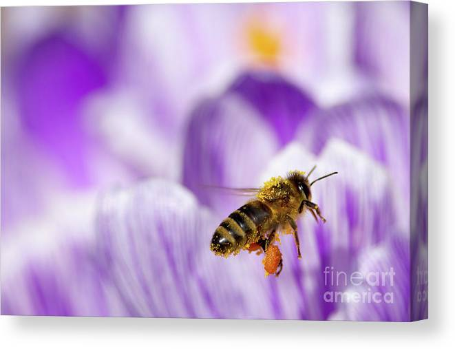 Honeybee Canvas Print featuring the photograph Pollen Collector by Sharon Talson