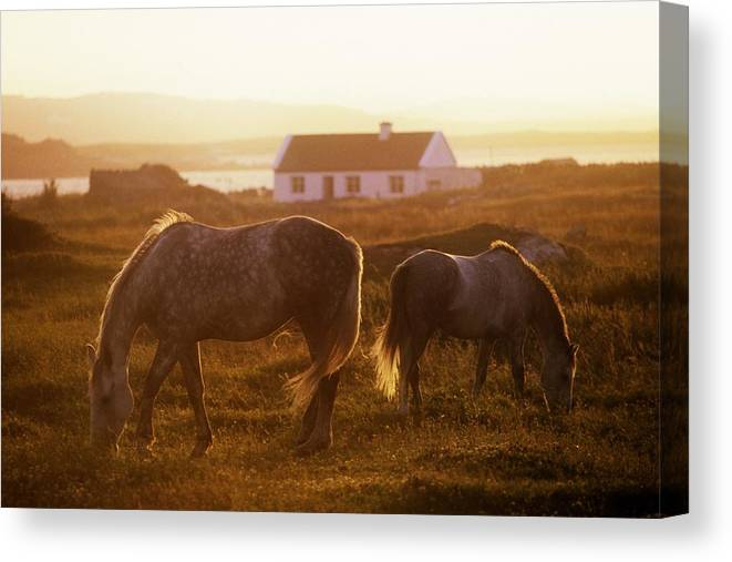 Animals In Nature Canvas Print featuring the photograph Ponies Grazing In A Field, Connemara by The Irish Image Collection