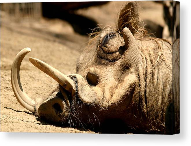 Wart Hog Canvas Print featuring the photograph Power Nap by Mary Haber