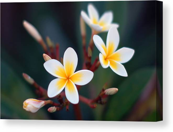 White Canvas Print featuring the photograph Pretty Plumerias by Mandy Wiltse