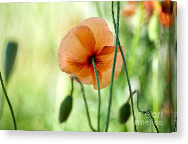 Poppy Canvas Print featuring the photograph Red Corn Poppy Flowers 02 by Nailia Schwarz