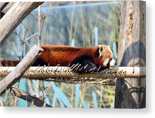 Animal Canvas Print featuring the photograph Rest by Taras Bekhta