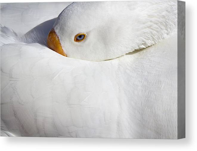 Goose Canvas Print featuring the photograph Resting White Goose by Phyllis Denton