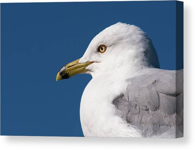 Jaques Marquette Canvas Print featuring the photograph Ring-billed Gull Portrait by Onyonet Photo Studios