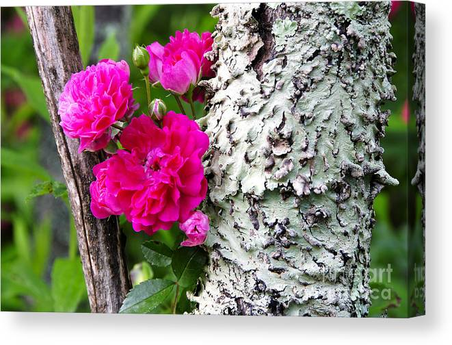 Wild Rose Canvas Print featuring the photograph Rogue Rose by Thomas R Fletcher
