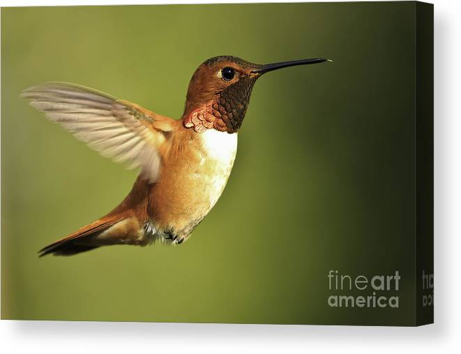 Hummingbird Canvas Print featuring the photograph Rufous Hummingbird by Tim Hauf