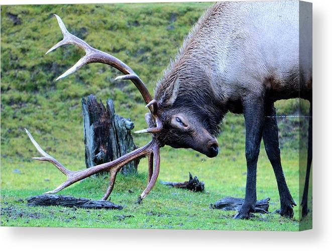 Canvas Print featuring the photograph Rutting Bull Elk by Tahomawind Photography