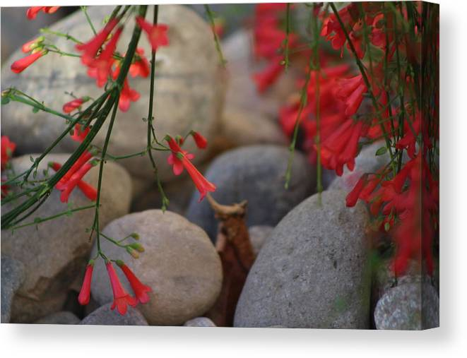 Scarlet Bugler Blossoms Canvas Print featuring the photograph Scarlet Bugler Blossoms On Rocks by Colleen Cornelius