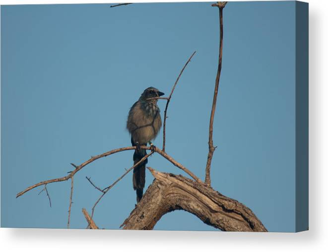 Florida Scrub Jay Canvas Print featuring the photograph Scrub Jay Private Eye by JR Cox