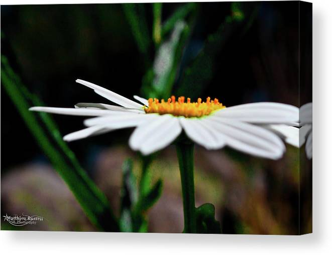Canvas Print featuring the photograph Side Of A Daisy by Matthieu Russell