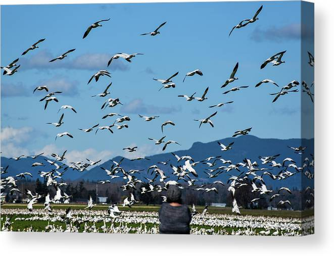 Snow Geese Rising Canvas Print featuring the photograph Snow Geese Rising by Tom Cochran