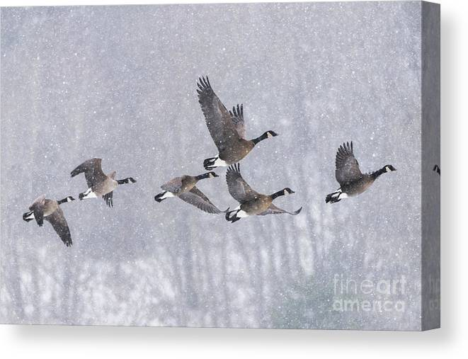 Canada Geese Canvas Print featuring the photograph Snowbound Arrivals by Tim Moore