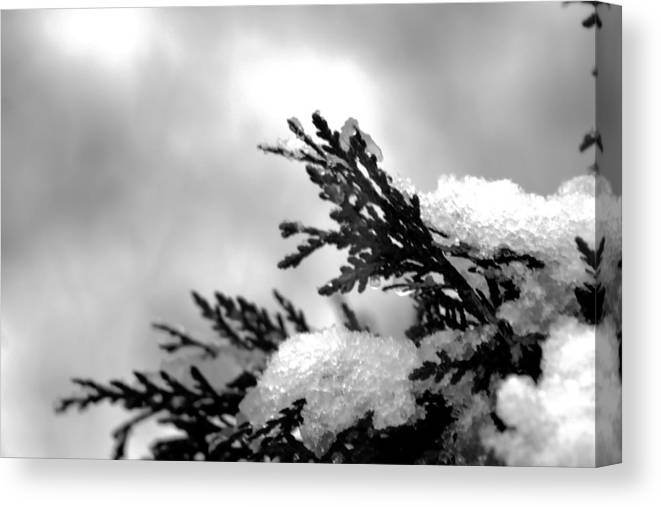 Nature Canvas Print featuring the photograph Snowy Pine Branch by Robin Lynne Schwind