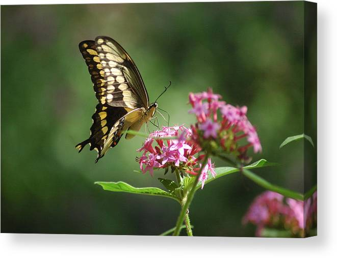 Butterflies Canvas Print featuring the photograph Soft Landing by Robert Anschutz