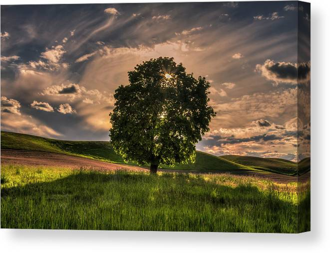 Solitarty Backlit Tree In The Palouse Canvas Print