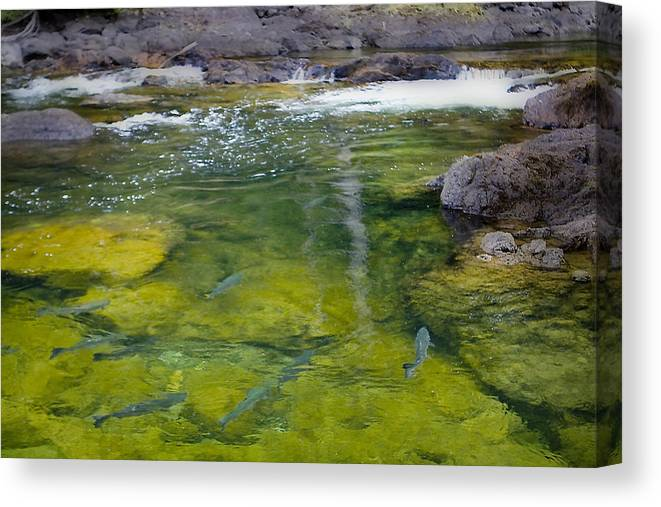 Salmon Canvas Print featuring the photograph Spawning Salmon by Naman Imagery