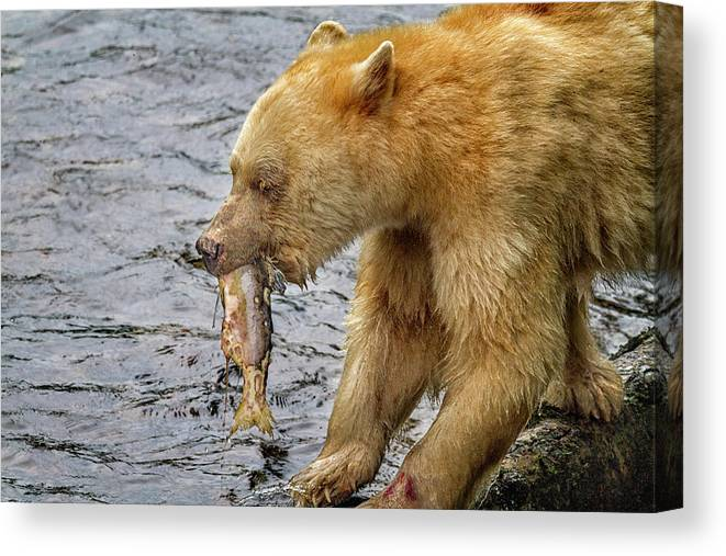 Bear Canvas Print featuring the photograph Spirit Bear Take Out 9636 by Karen Celella