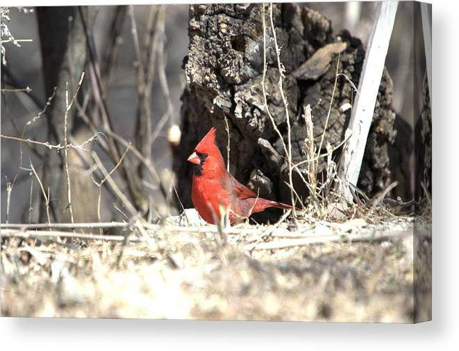 Adult Canvas Print featuring the photograph Spring Cardinal by Bonfire Photography