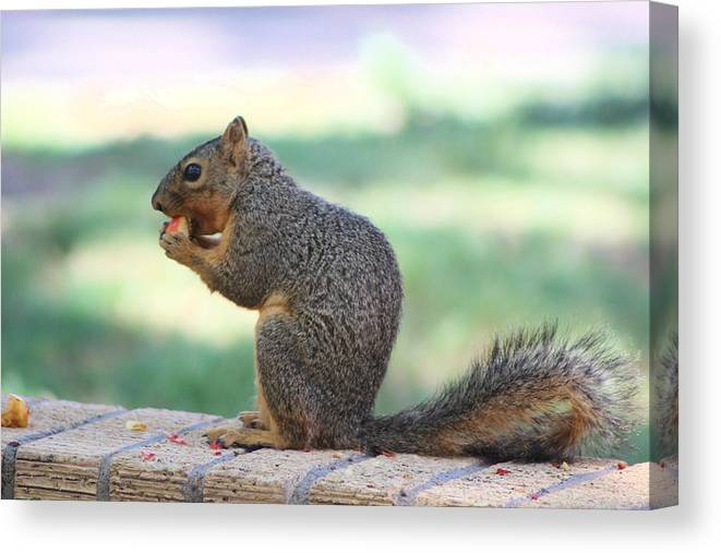 Squirrel Canvas Print featuring the photograph Squirrel Eating Crab Apple by Colleen Cornelius