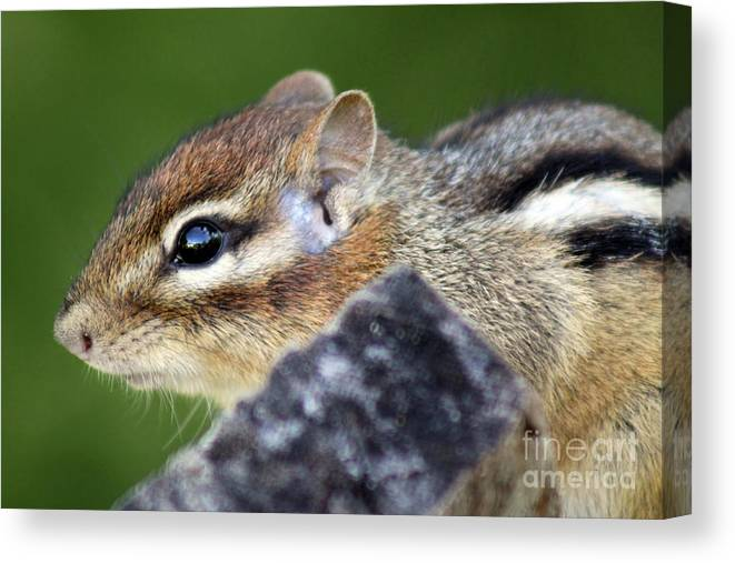 Rodent Canvas Print featuring the photograph Still Chipmunk by Cathy Beharriell