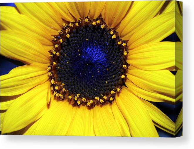 Sunflower Photography Canvas Print featuring the photograph Sunflower 2 by Evelyn Patrick