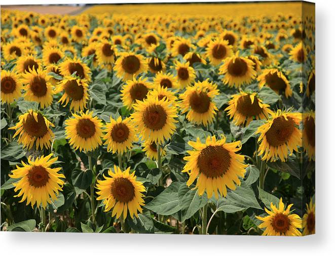 Sunflowers Canvas Print featuring the photograph Sunflower Field France by Pauline Cutler