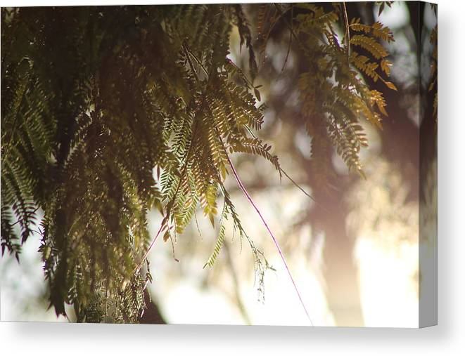 Sunlight And Mimosa Fine Art Photography