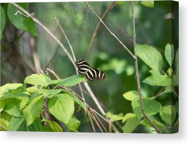 Zebra Longwing Butterfly Canvas Print featuring the photograph Sunning Zebra Longwing Butterfly by JR Cox