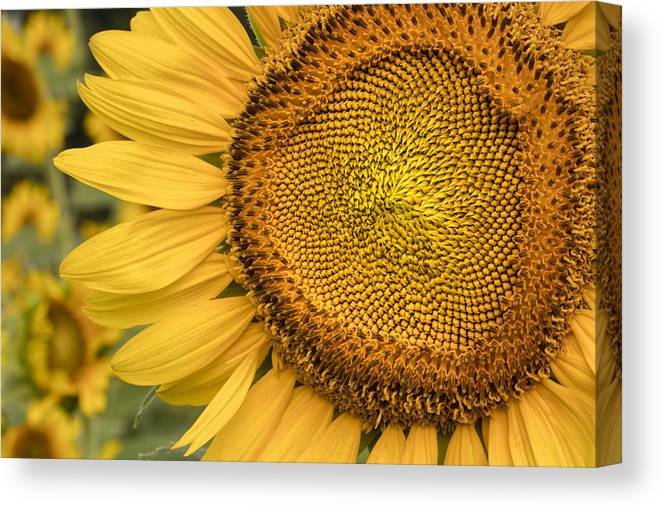 Sunflower Canvas Print featuring the photograph Sunshine Flower by Linda D Lester