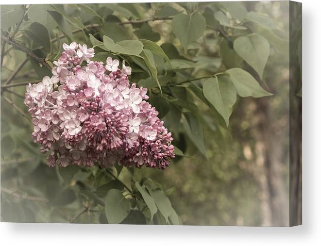 2015 Canvas Print featuring the photograph Syringa Vulgaris by Nick Mares