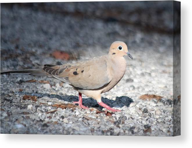 Mourning Dove Canvas Print featuring the photograph The Chipper Mourning Dove by JR Cox