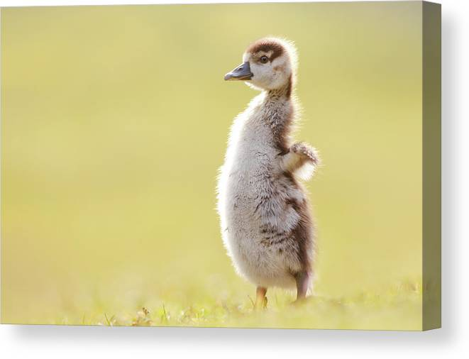 12a976ec95b4 Gosling Canvas Print featuring the photograph The Happy Chick - Happy  Easter by Roeselien Raimond