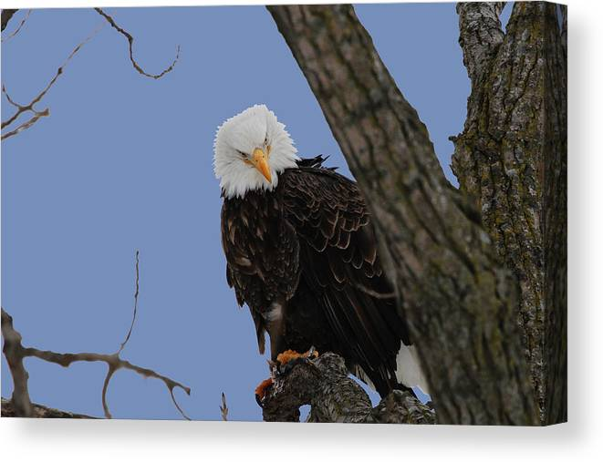 Eagle Canvas Print featuring the photograph The Look by Dave Clark