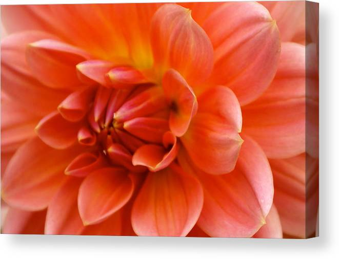 Floral Canvas Print featuring the photograph The Opening Of A Dahlia by Sonja Anderson