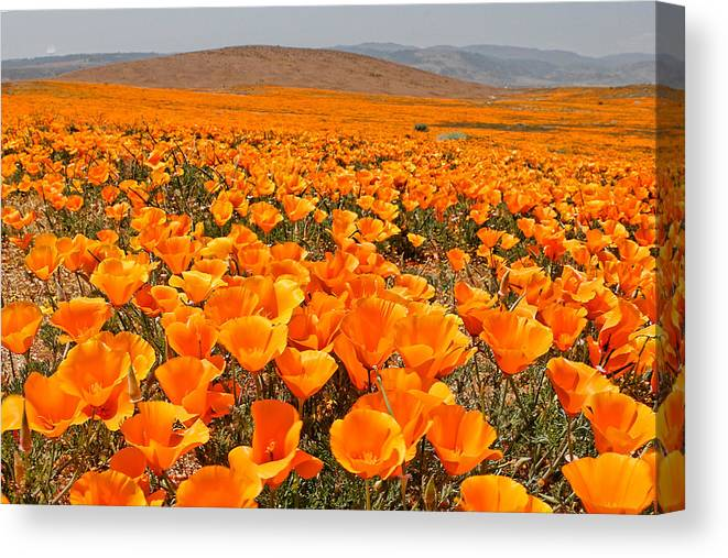 Antelope Valley Canvas Print featuring the photograph The Poppy Fields - Antelope Valley by Peter Tellone
