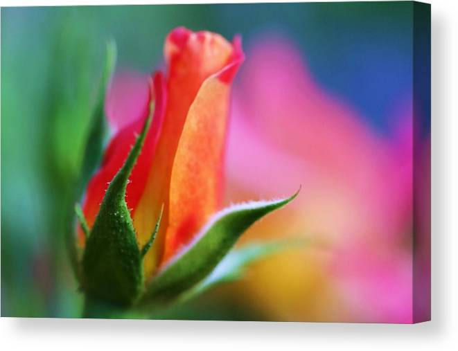 Rose Canvas Print featuring the photograph The Rose by Mitch Cat