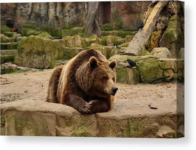 Bear Canvas Print featuring the photograph Thinker Bear by Monica Costa