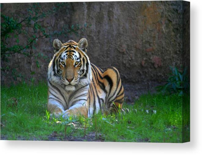 Tiger Canvas Print featuring the photograph Tiger by Paul McCarthy