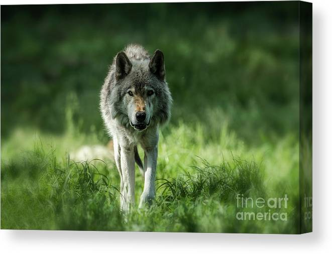 Timber Wolf Canvas Print featuring the photograph Timber Wolf Picture - Tw69 by Wolves Only