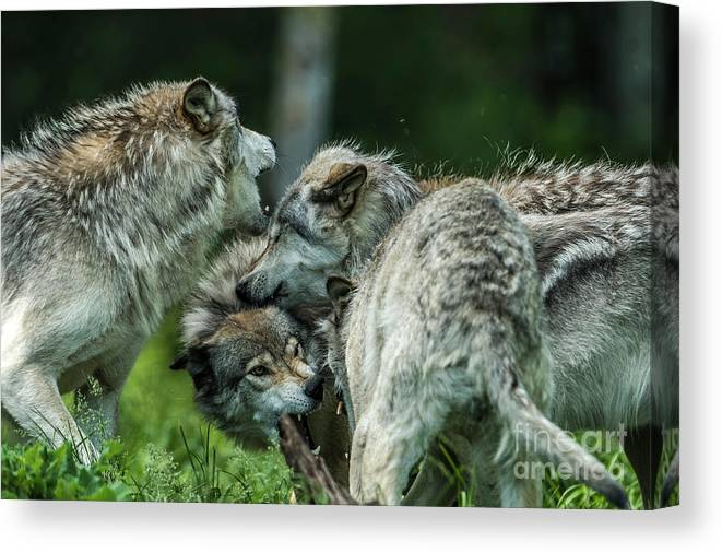 Timber Wolf Canvas Print featuring the photograph Timber Wolf Picture - Tw70 by Wolves Only