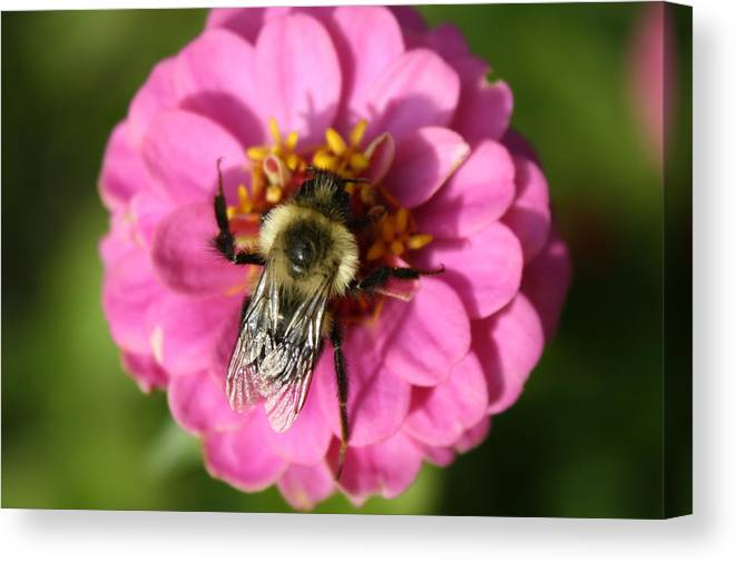 Bee Canvas Print featuring the photograph To Bee Or Not To Bee by Annie Babineau