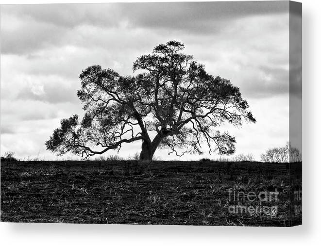 Oak Tree Canvas Print featuring the photograph Tortue Oak by Scott Pellegrin