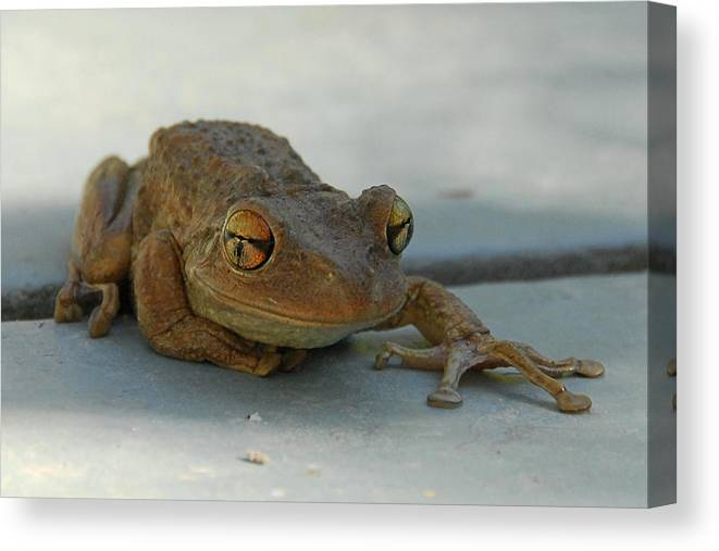 Frog Canvas Print featuring the photograph Tree Frog Out For A Walk by Alan Lenk