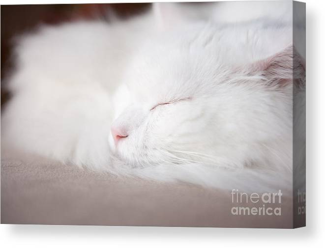 3468713ea0 Angora Canvas Print featuring the photograph Turkish Angora Cat Face Closeup  by Arletta Cwalina