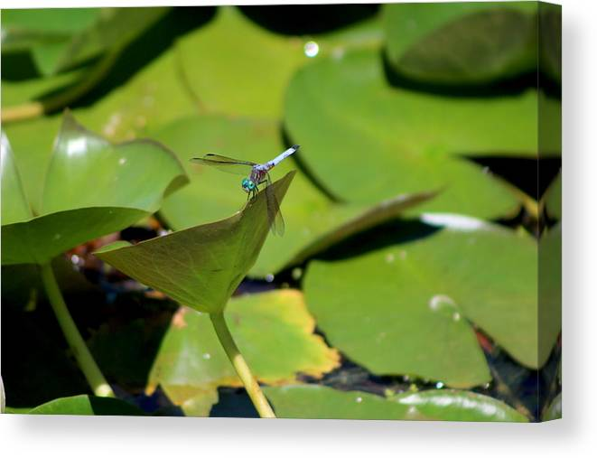 Turquoise Blue Dragonfly On Lily Pad Canvas Print