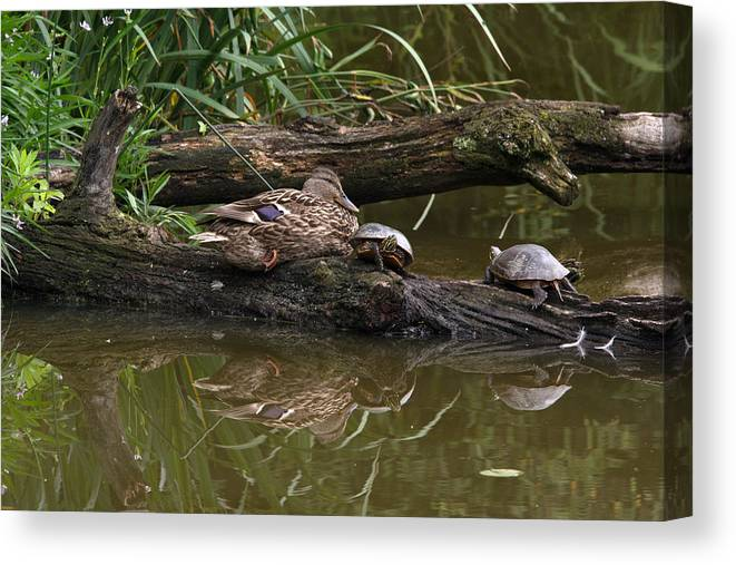 Duck Canvas Print featuring the photograph Turtles And A Duck by Linda Kerkau